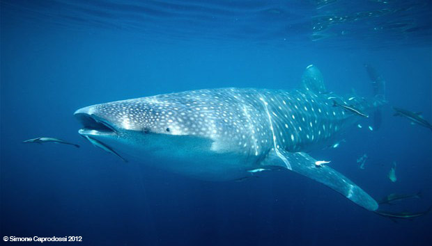 Whale Shark swimming with fish
