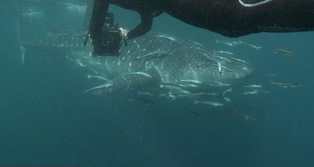 BBC-filming-whale-sharks-3