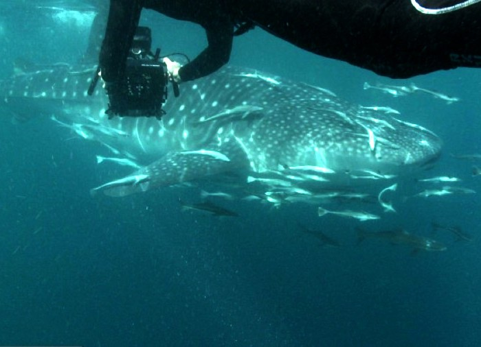 bbc-qatar-whale-shark-documentary