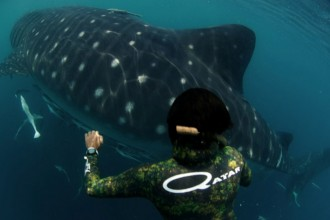 Qatari free diver Khalid Al Hamadi up close and personal with the Al Shaheen whale sharks